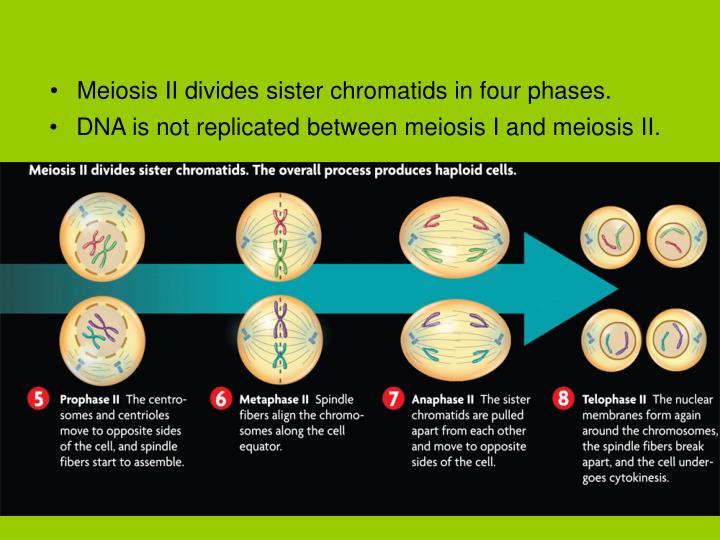 Meiosis II divides sister chromatids in four phases.