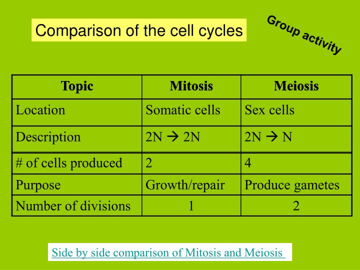 Comparison of the cell cycles