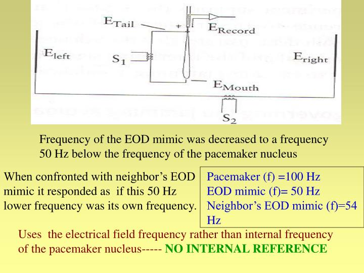 Frequency of the EOD mimic was decreased to a frequency