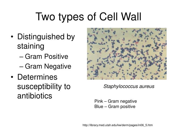 Two types of Cell Wall