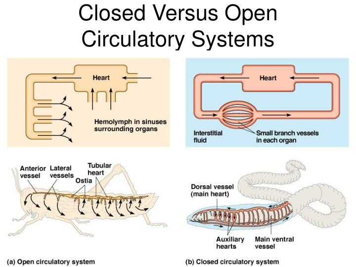 Closed Versus Open Circulatory Systems