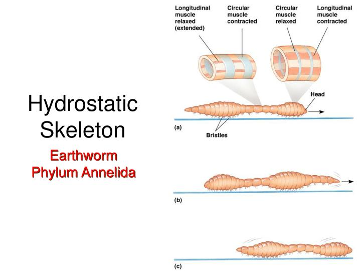 Hydrostatic Skeleton
