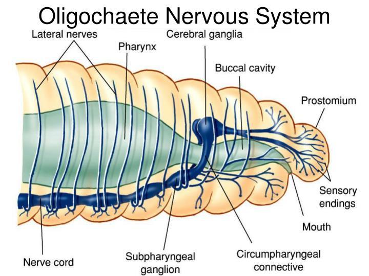 Oligochaete Nervous System