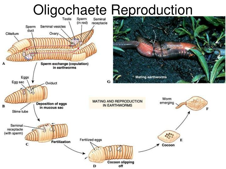 Oligochaete Reproduction