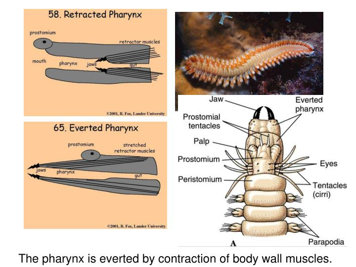 The pharynx is everted by contraction of body wall muscles.