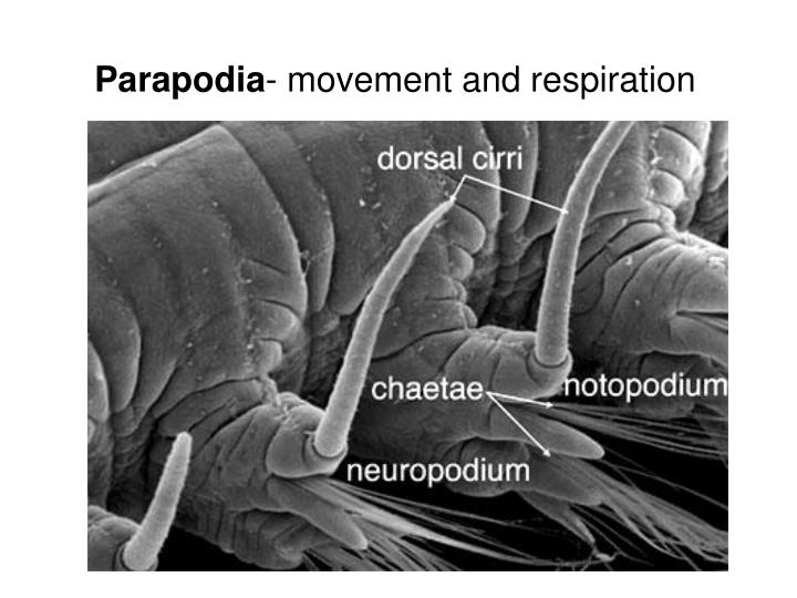 Parapodia