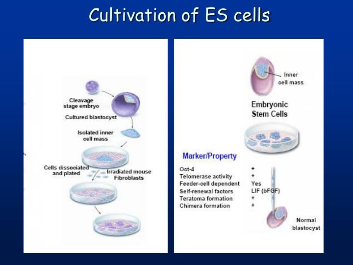 Cultivation of ES cells