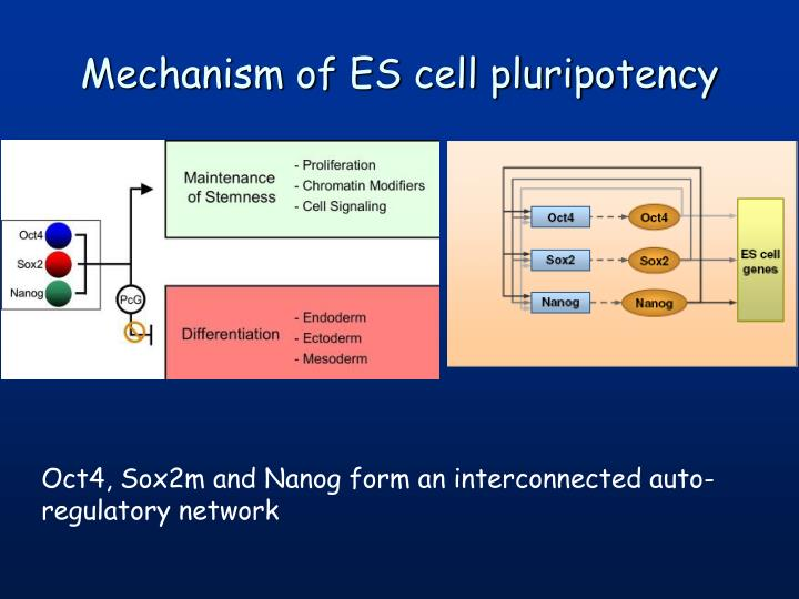 Mechanism of ES cell pluripotency