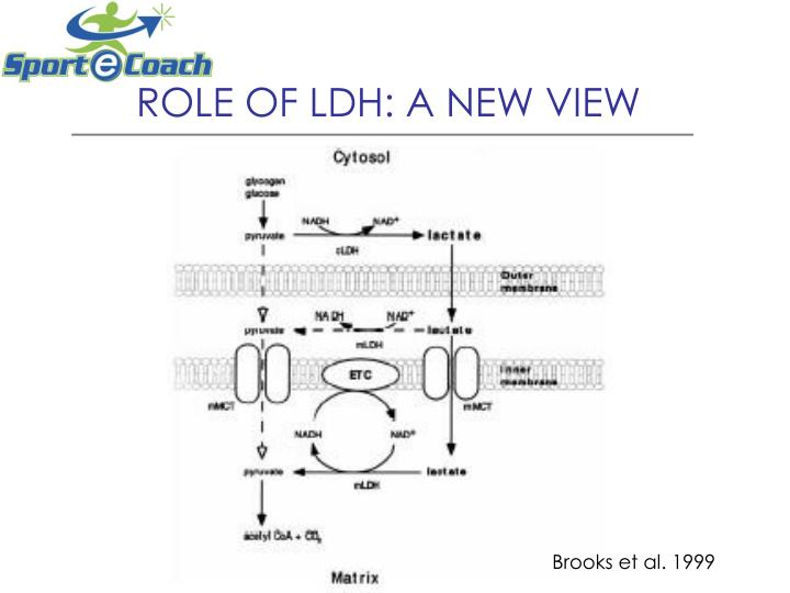 ROLE OF LDH: A NEW VIEW