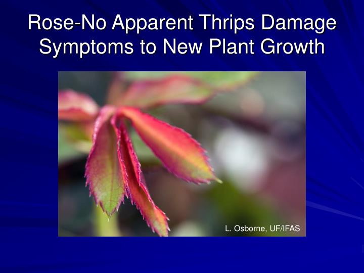 Rose-No Apparent Thrips Damage Symptoms to New Plant Growth