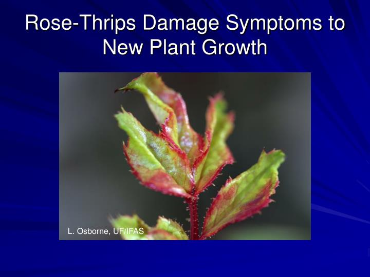 Rose-Thrips Damage Symptoms to New Plant Growth