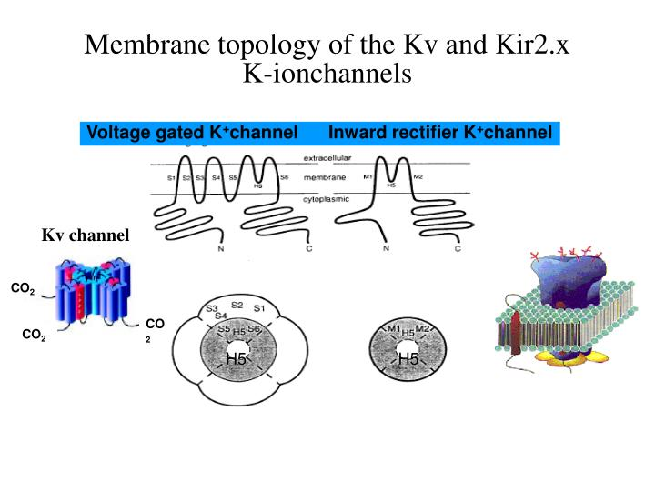 Membrane topology of the Kv and Kir2.x