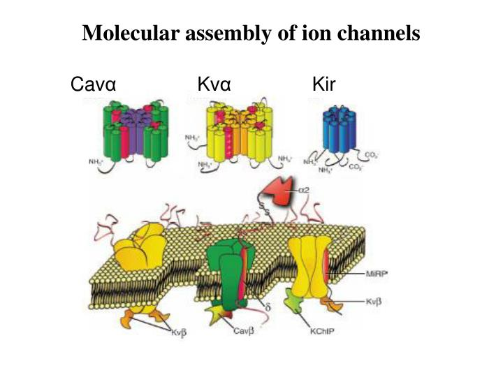 Molecular assembly of ion channels