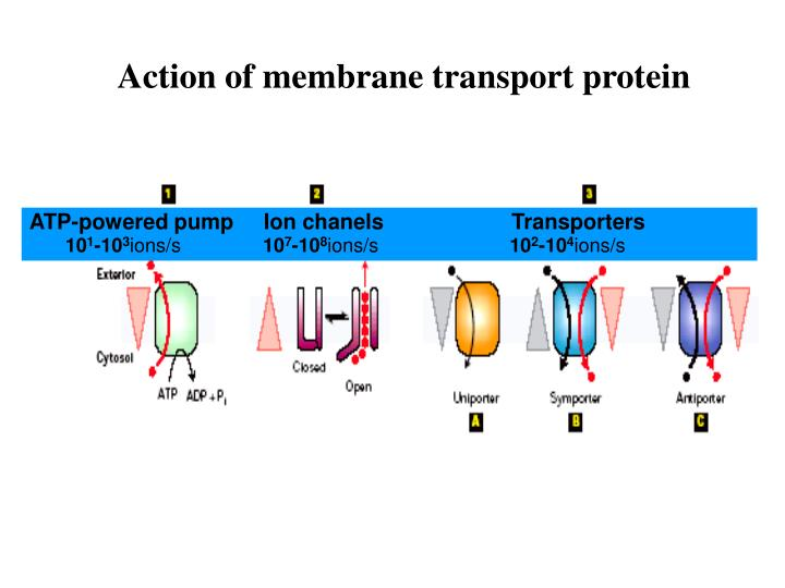Action of membrane transport protein
