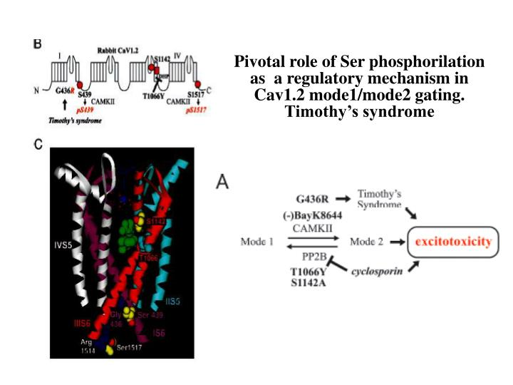 Pivotal role of Ser phosphorilation as  a regulatory mechanism in Cav1.2 mode1/mode2 gating.