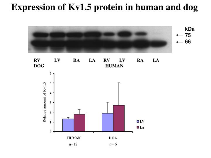 Expression of Kv1.5 protein in human and dog