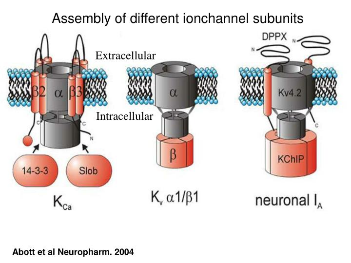 Assembly of different ionchannel subunits