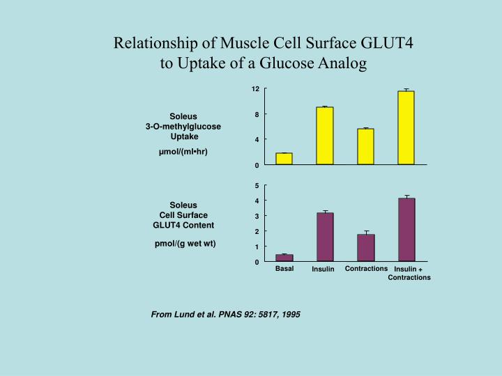 Relationship of Muscle Cell Surface GLUT4
