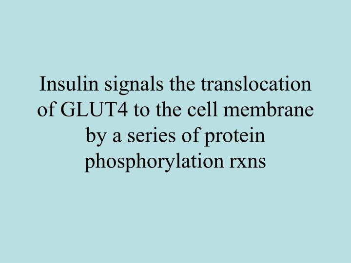 Insulin signals the translocation of GLUT4 to the cell membrane by a series of protein phosphorylation rxns