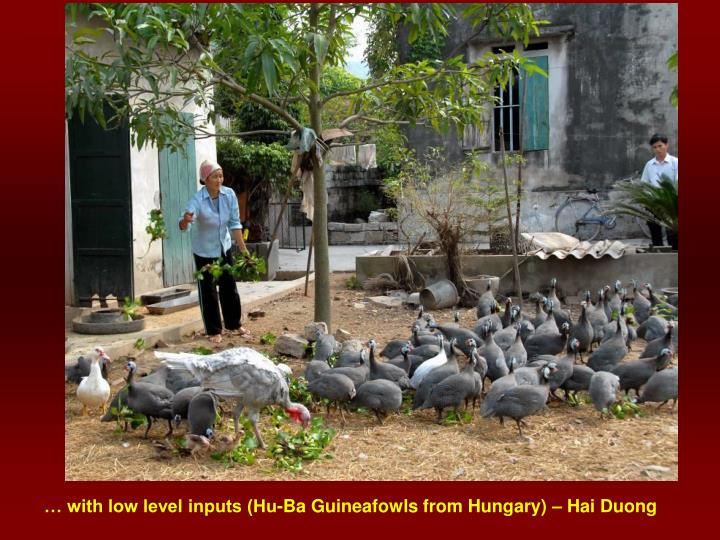 … with low level inputs (Hu-Ba Guineafowls from Hungary) – Hai Duong