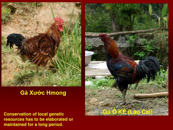 Gà Xước Hmong