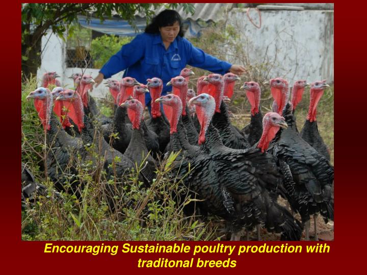 Encouraging Sustainable poultry production with traditonal breeds