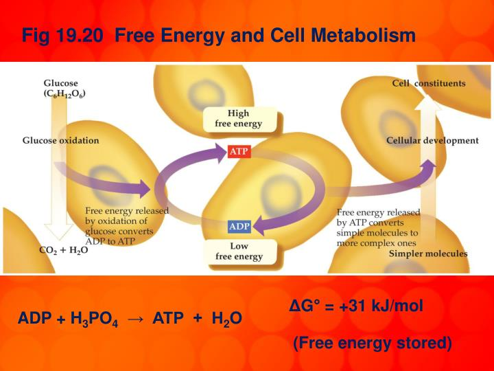 Fig 19.20  Free Energy and Cell Metabolism