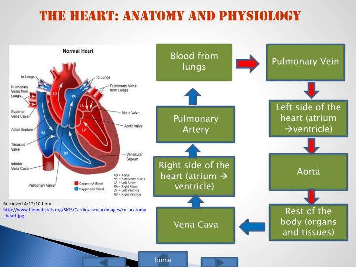 The Heart: Anatomy and Physiology
