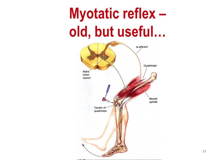 Myotatic reflex –                            old, but useful…