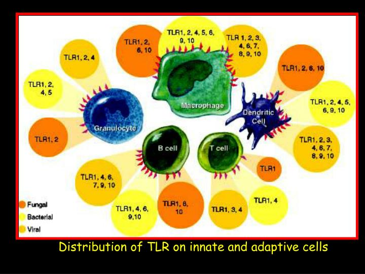 Distribution of TLR on innate and adaptive cells