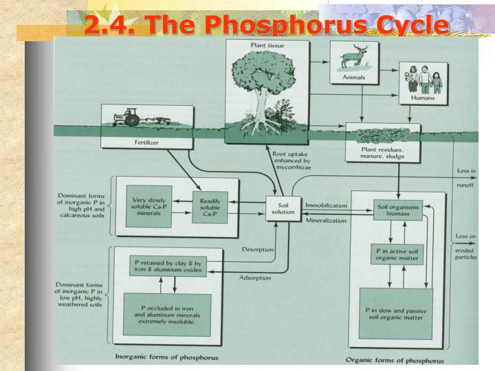 2.4. The Phosphorus Cycle