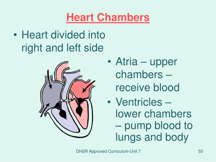 Heart divided into right and left side