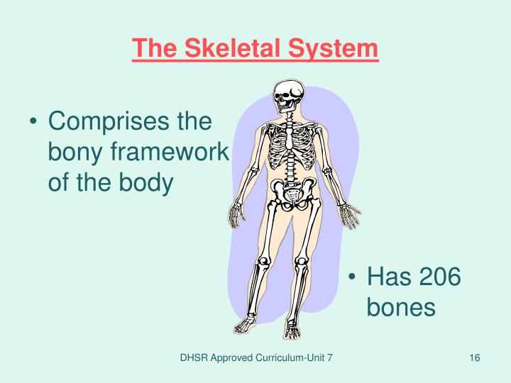 Comprises the bony framework of the body
