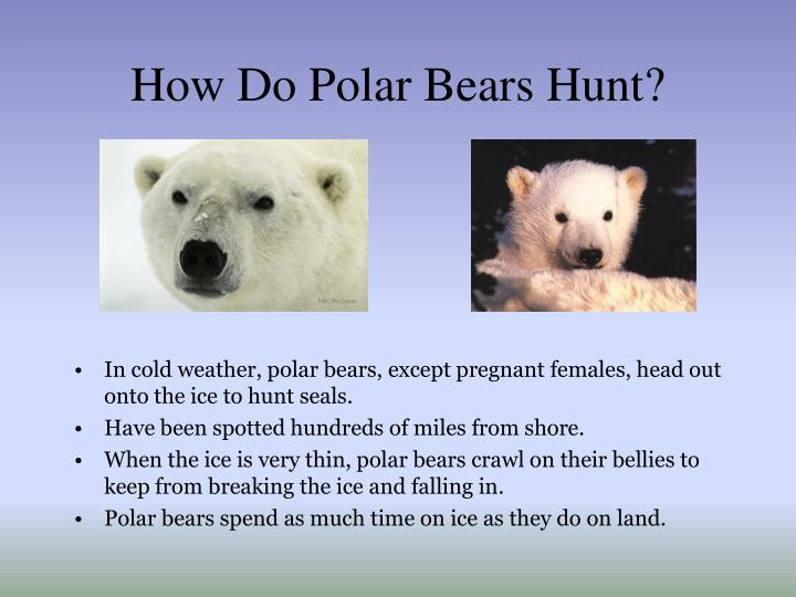 How Do Polar Bears Hunt?