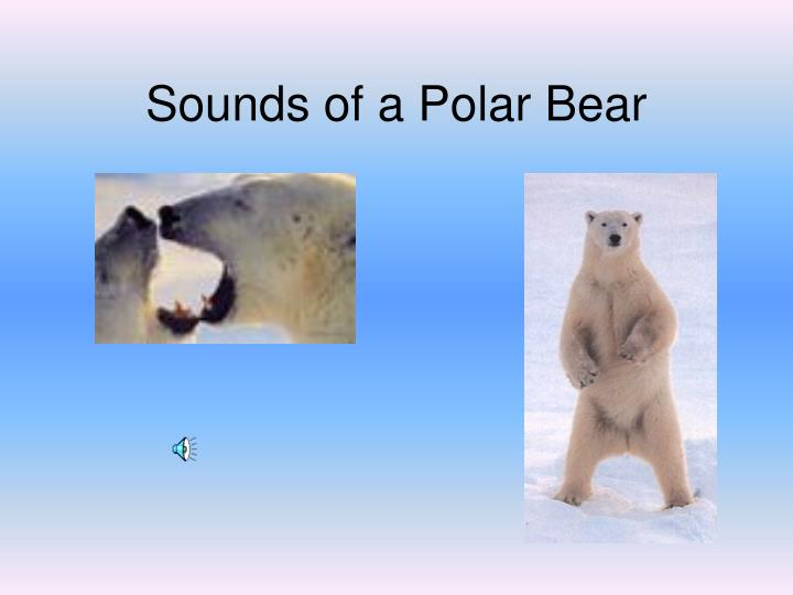 Sounds of a Polar Bear