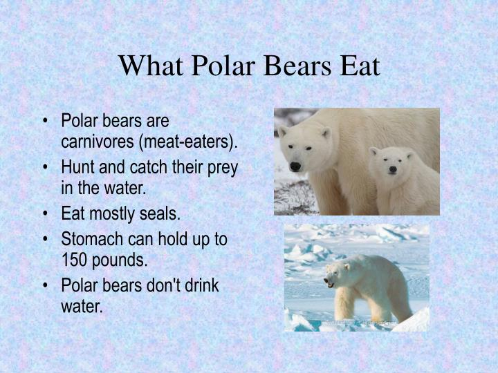 What Polar Bears Eat