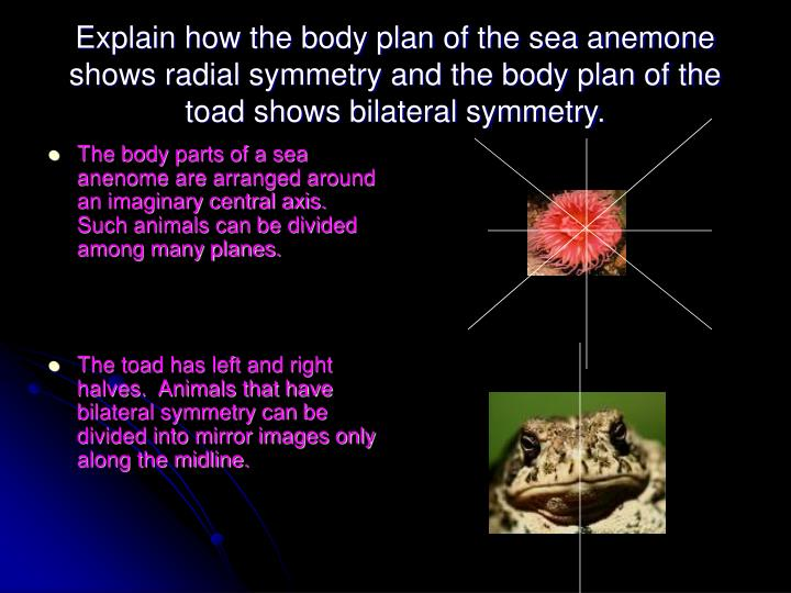 Explain how the body plan of the sea anemone shows radial symmetry and the body plan of the toad shows bilateral symmetry.