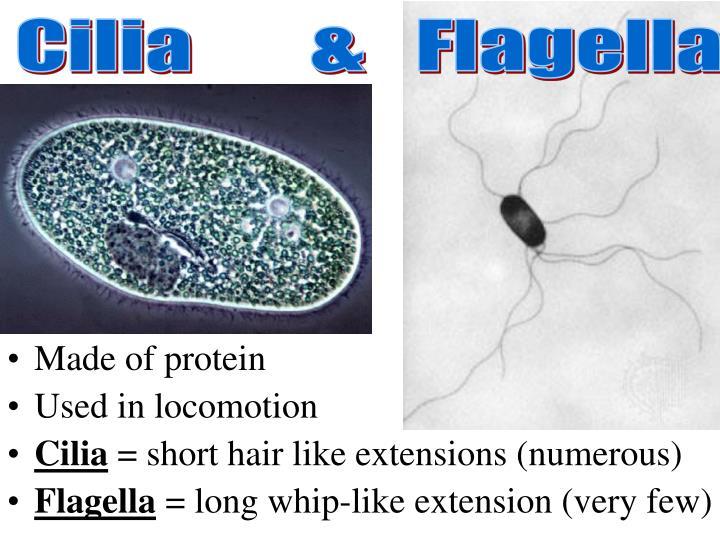 Cilia       &   Flagella