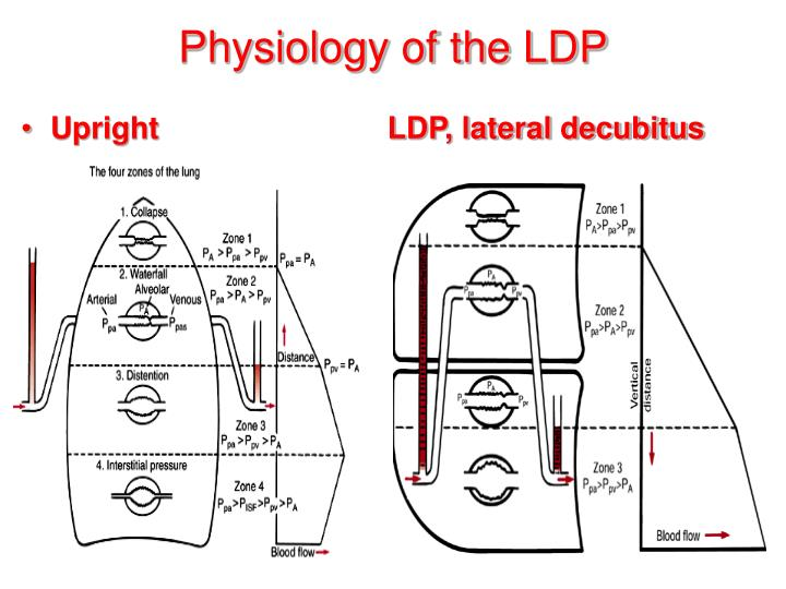 Physiology of the LDP