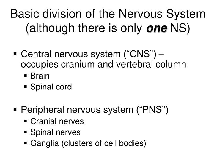 Basic division of the nervous system although there is only one ns