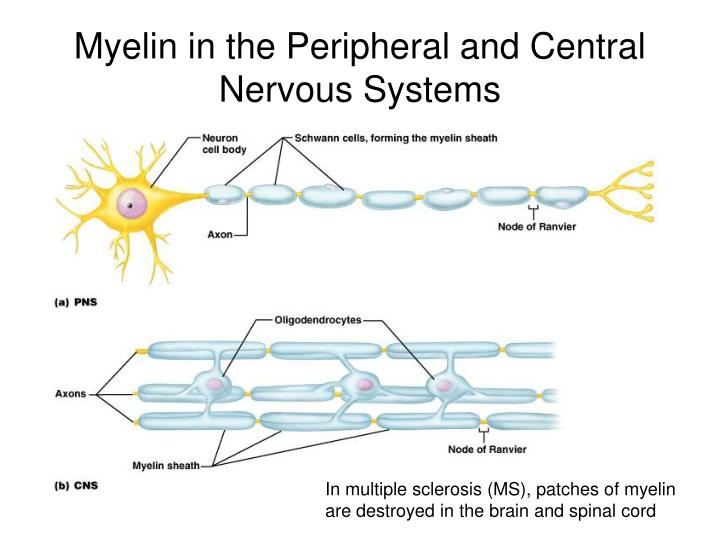 Myelin in the Peripheral and Central Nervous Systems