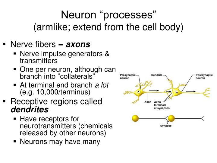"""Neuron """"processes"""""""