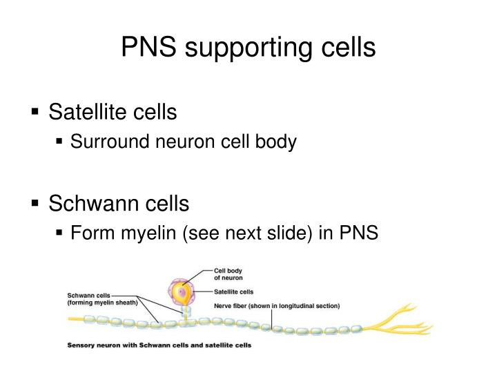 PNS supporting cells