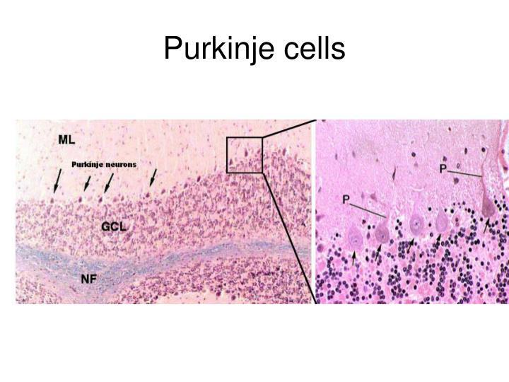 Purkinje cells