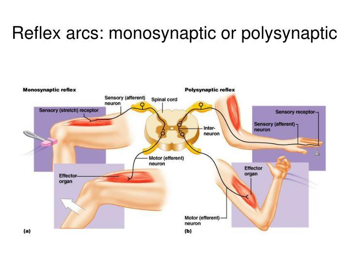 Reflex arcs: monosynaptic or polysynaptic