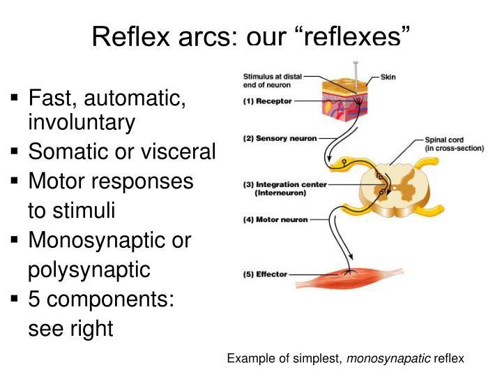 "Reflex arcs: our ""reflexes"""