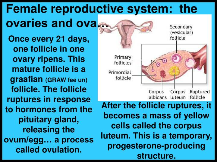 Female reproductive system:  the ovaries and ova…