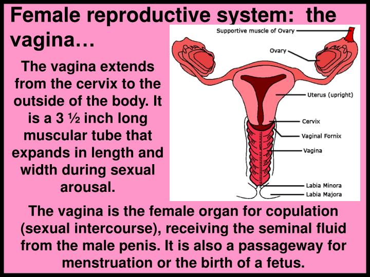 Female reproductive system:  the vagina…