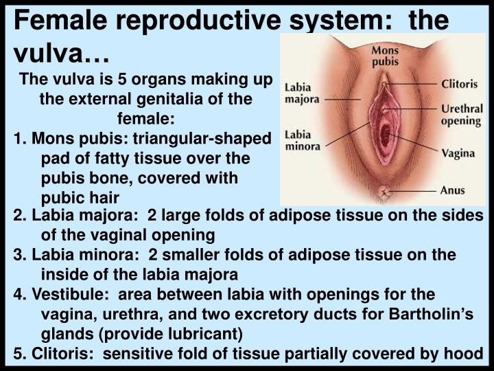 Female reproductive system:  the vulva…