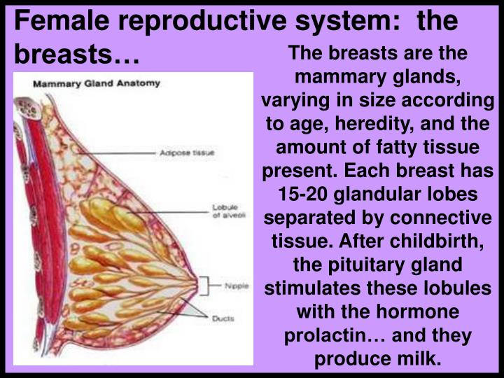 Female reproductive system:  the breasts…